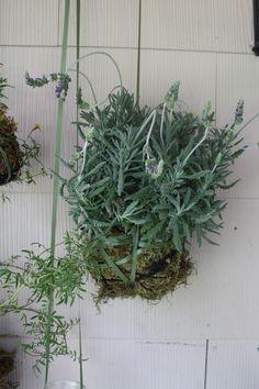 mosquito repellent plant idea