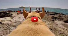 A #Labradors Joyful Run to the Beach Water