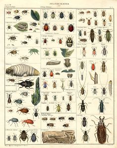 Beetle mania -need this some thing killed my squash-saw a bug-now maybe I can see what it was