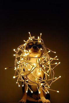 chihuahua + lights = aww