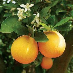 planting an orange tree