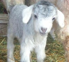 Pygora Breeders Association Goat of the Month Archive