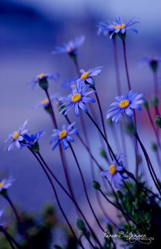 Piękne ujęcie nature beauty, blue daisi, blue flowers, violet, color combinations, natur beauti, garden, blues, beauti blue