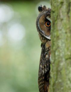 bird, anim, hootersth owl, peek a boo!, peekaboo