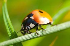 Ladybird macro ladybird, amaz anim, photographi, anim pic