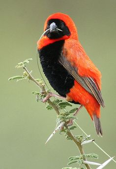 Southern Red Bishop / Rooivink
