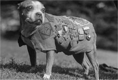 Sergeant Stubby (1916 or 1917 – March 16, 1926), was the most decorated war dog of World War I and the only dog to be promoted to sergeant through combat. hero, america vetdog, sergeant stubbi, war dog