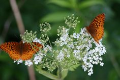 Arctic Fritillary Moth on Queen Anne's Lace.