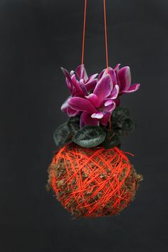 Mister Moss Ball Hanging Plants