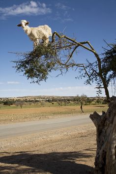 Goats in Argan Trees Photos - Morocco