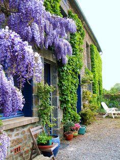 wall of wisteria...be still my heart!