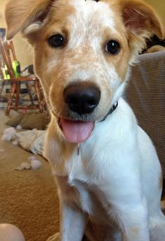 Ripley the Australian Cattle Dog Mix -- Puppy Breed: Australian Cattle Dog / Australian Shepherd / Mixed