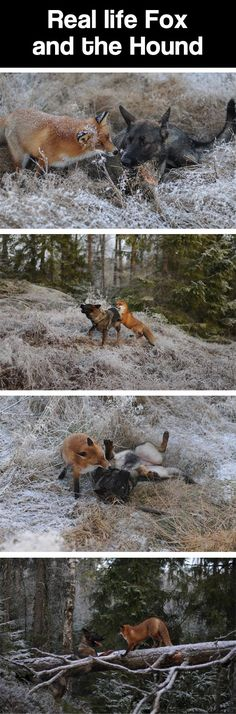 The real Fox and the Hound… awe!