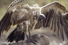 "White-rumped Vulture (Gyps bengalensis) was present in large numbers until the 1990s and declined rapidly in numbers since; up to 99.9% between 1992 and 2007. In 1985 the species was described as ""possibly the most abundant large bird of prey in the world"". This vulture builds its nest on tall trees often near human habitations in northern and central India. It feeds mostly on carcasses of dead animals which it finds by soaring high in thermals. It often moves in flocks."