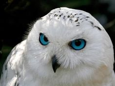 Owl colors, white, beauty, colorful animals, birds, snowy owl, blues, snowyowl, eye