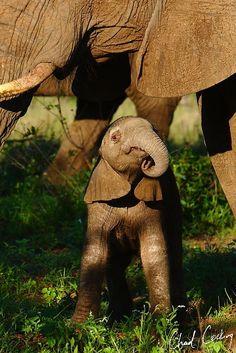 Tiny baby elephant calf