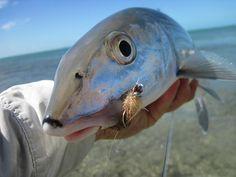 Bahamas Bonefish!