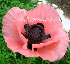 Papaver Orientale Queen Alexandra Poppies
