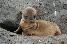 Galapagos Islandssss. babi anim, sea life, seas, island babi, sea lions, babi sea, gallego island, galapagos islands, galapago island