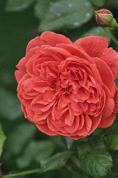 english roses, pretti flower, rose summer, beauti flower