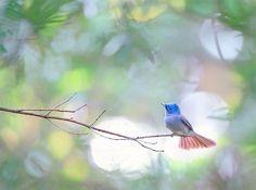 Black-naped Blue flycatcher, Taiwan