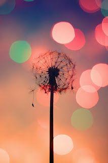 Beautiful Dandelion Flowers Pictures