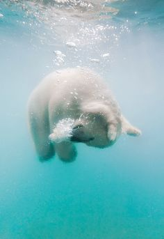 Baby Polar Bear, doing somersaults in the sea.