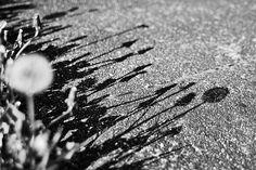 dandelion shadows