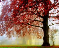 tree with red blossoms