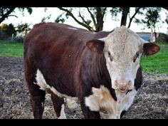 My Hereford bull