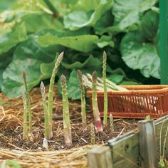 more tips on growing asparagus