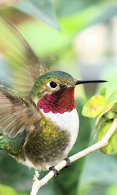 Ruby-throated Hummingbird - male anim, beautiful hummingbirds, rubi throat, bird of paradise, beauty, garden, feather, yards, rubythro hummingbird