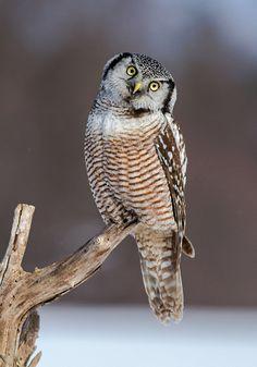 Source: Flickr / billmcmullen  #northern hawk owl