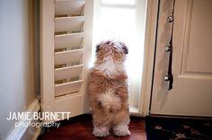 Shih Tzu Puppy, Shitzu puppy shitzu, shihtzu, shih tzus, tzu puppi