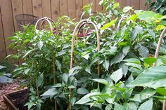Trellising for vegetables - inexpensive and easy