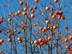 persimmon fuji persimmon, fruit trees, landscap architecturegarden, persimmon fruit, fuyu persimmon, south carolina