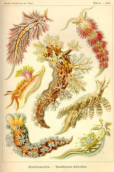 Nudibranchs (plate 43) by Ernst Haeckel, from Kunstformen der Natur, 1904 http://abilliontastesandtunes.blogspot.ca/2011/05/ernst-haeckel-part-2-of-2.html?m=1