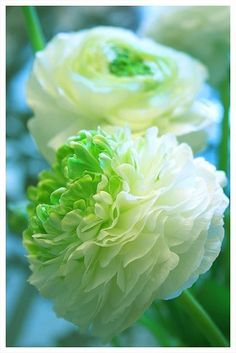 white flowers, ranunculus, garden ideas, colors, bouquets, flowers garden, flowersgarden, green flowers, peoni