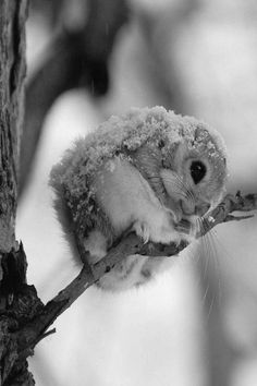 Japanese flying squirrel.