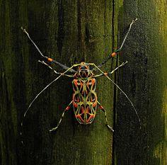 Harlequin Cerambycid Beetle