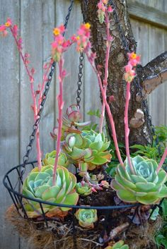 pink succulents - Google Search