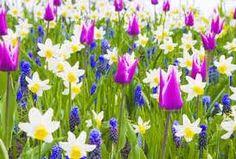 daffodil, color, tulip, natur beauti