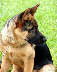 German Shepherd: smart dog
