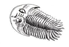 Our illustration of a typical member of the Trilobita Order.