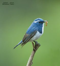 Ultramarine Flycatcher-Male (Sattal) by ishmeetsahni, via Flickr
