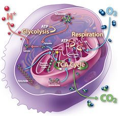 Glycolysis, respiration, and the Citric Acid Cycle (aka Krebs Cycle)