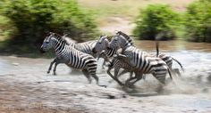 Running zebras in Serengeti National Park. This photo was shot by professional photographer and Thomson Safaris' trip leader, Andy Biggs.