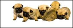 Pug Facebook Cover Photos For Your Timeline.