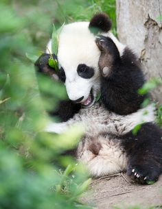 Peek-a-boo! Nothing like playful panda Xiao Liwu to brighten your day! (photo: Rita Petita)