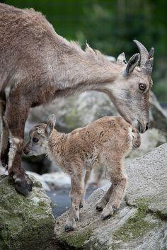 Alpine Ibex - Mother with kid.